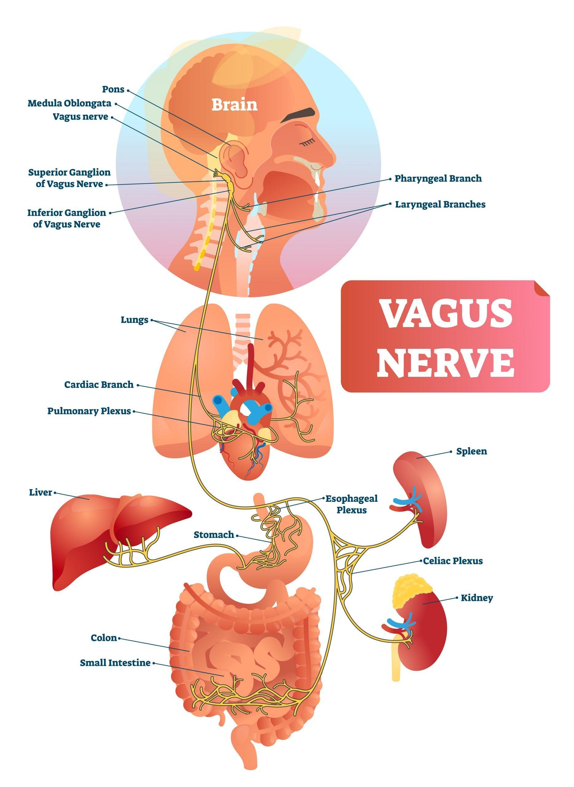 Vagus Nerve Understanding Stress